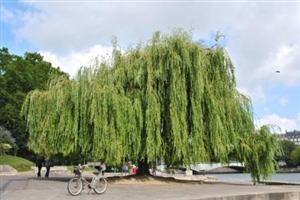 老家大柳树
