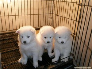 出售萨摩,拉布拉多幼犬
