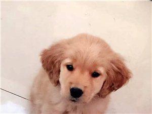 出售金毛,泰迪幼犬