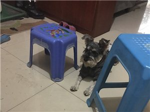 雪纳瑞一岁犬失踪
