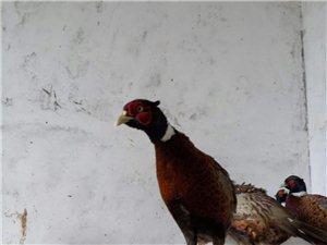 出售训养野鸡