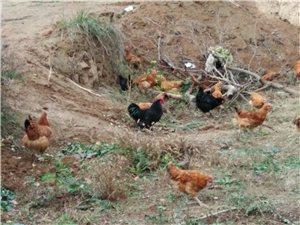 散养土鸡.七彩山鸡