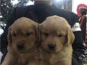 瀘州城南犬舍長期出售各類家庭繁殖名犬名貓