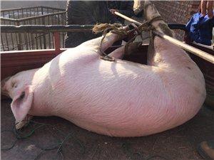 自家豬養殖,賣年豬