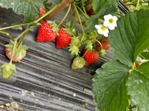 溧水群力村夏家边草莓采摘园