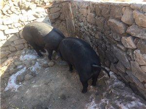 農村自養大肥豬
