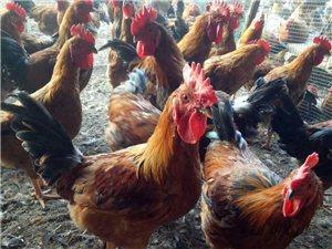 家养小鸡子便宜出售