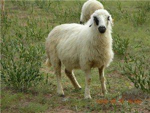 出售白条羊,纯内蒙古羔羊