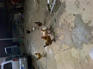 自己家养的柴鸡