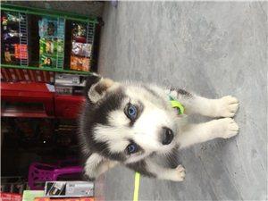 出售各種名犬,幼犬,成犬