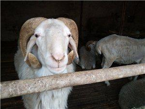 肥羊贩卖销售