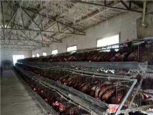 出售大量雞蛋和肉雞