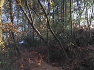 正宗农村放养土鸡土鸡蛋各种野味配送