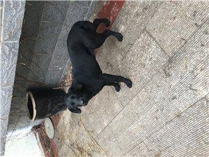 ��N黑色拉布拉多犬