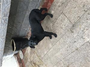 纯种黑色拉布拉多犬
