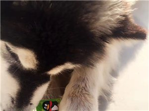 阿拉斯加狗丟失