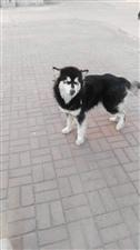 转让阿拉斯加犬一条