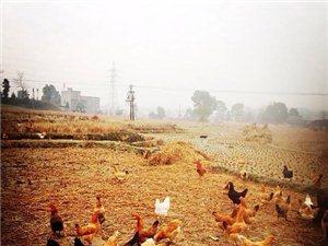 原鸡渊味农家土鸡蛋