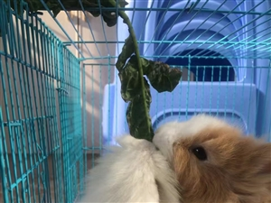 宠物兔出售