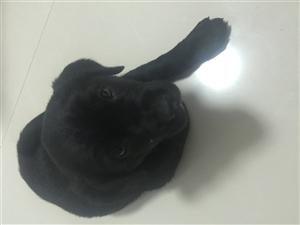 出售50天公狗拉布拉多價格400可優惠,因無人喂養