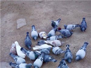 农家鸽子,送货上门