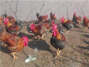 萊陽,富水河河邊梨園放養大紅公雞