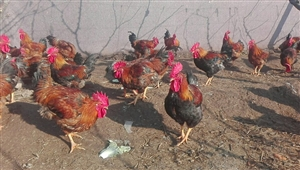 最新注册送体验金网址,富水河河边梨园放养大红公鸡