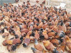 农家散养生态??鸡大量批发出售~咨询电话13097330379