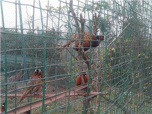 泸州睦春野鸡出售