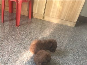 自家養的純種泰迪幼犬