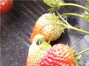 紅紅火火過大年 新鮮草莓等你采