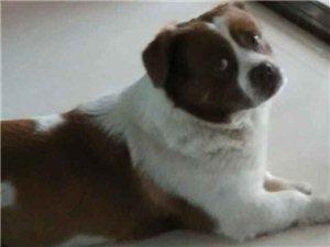 狗狗名字叫旺旺,于2017年1月25号在安家兴业村