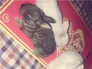 出售小白兔