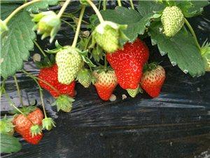 歡迎大家帶家人朋友、小孩來采摘草莓