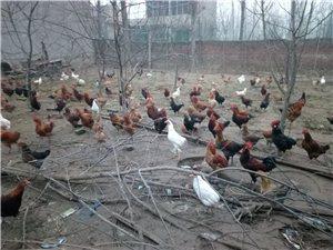 出售自家散养柴鸡