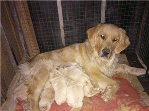金毛犬出售,八只小的,一只大的