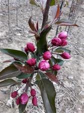 销售北美海棠树,规格:5--6公分