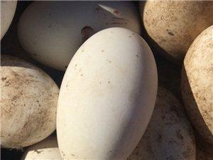 家中自養鵝蛋