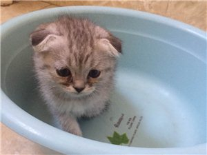 出售折耳貓。