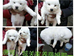 唐河縣,城關鎮,常年出售,寵物大型犬,小型犬,種公