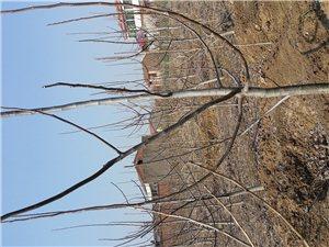 4年核桃树出售,己开始挂果