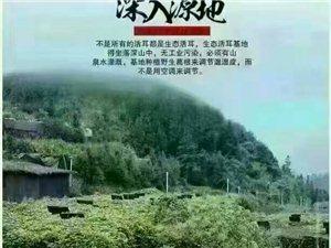 衢州开化的新鲜的白木耳