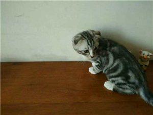 出售宠物猫