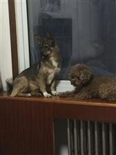 寻狗启示:两只狗与2017年2月13号晚六点左右在中原路玉门路交叉口西100米。泰迪已确认被丰田车撞