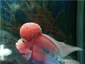自家罗汉鱼出售