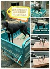 出售格力犬