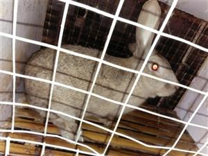 有30只4一5㎏的商品兔待出售