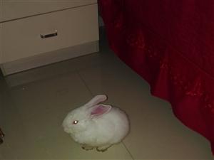 1只小白兔出售