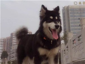 寻狗启示母阿拉斯加