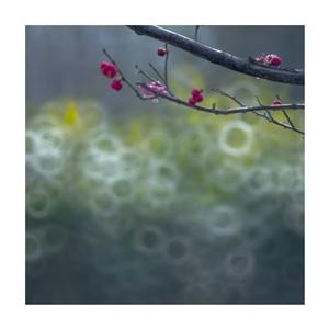 鸣犊泉里赏春梅